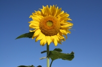 sunflower_with_sky.jpg