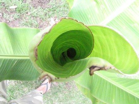 Folhas novas da bananeira-filhote
