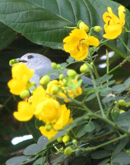 pássaro azul comendo flor-de-maio